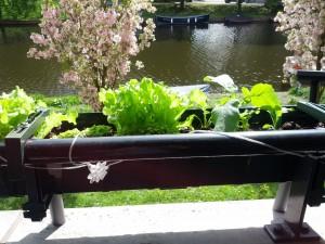 Salat i stride strømme og radiser på vej