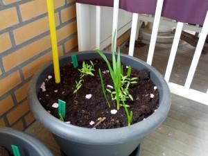 Pinseliljer og tomatplanter på vej