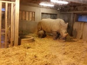 Den nye næsehornsbaby