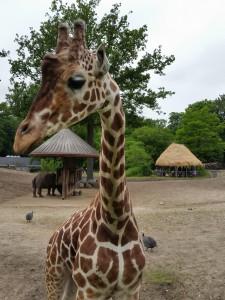 Giraffen var så tæt på at vi næsten kunne røre den