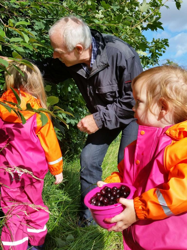 Morfar og pigerne plukker kirsebær
