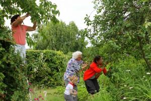 Damerne plukker kirsebær hos Olde-Ellen